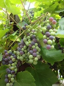 Fine grapes