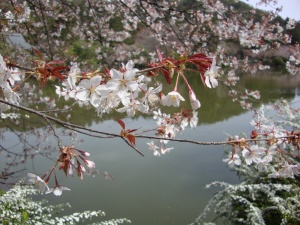 Sakura time is like a fairy tale in Japan
