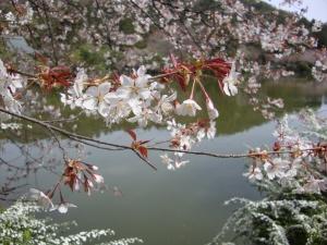 Sakura time is like a fairy tale in Japan